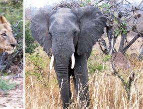 Fabulous Sightings at Kruger's Skukuza Rest Camp