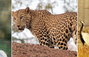 Living with Leopards in the hills of Rajasthan