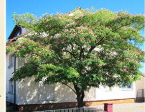 Jamshedpur: Of Bulbuls on Falsa trees and Rose Gardens